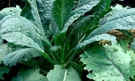 Kale (full)