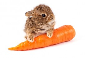 Wild little rabbit with carrot isolated on white