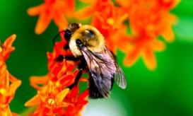 Bee redflower