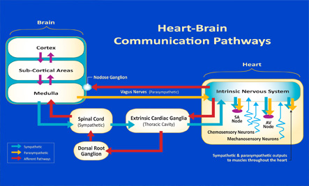 Heart-Brain Communication Pathways