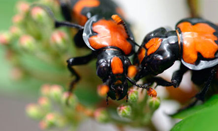 American Burying Beetle: Family Oriented - Beetle-love