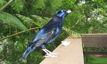 Bower Birds: Bachelor Pads blue