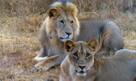 Lions2-443x267