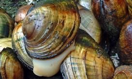 Mussels-443x267