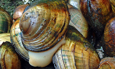 Freshwater mussels: The Bait and Switch - Mussels