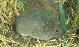 Prairie-vole-443x267