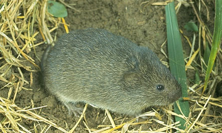 Prairie Vole: Born to be Faithful - rat mouse mice