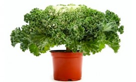 Kale in pot