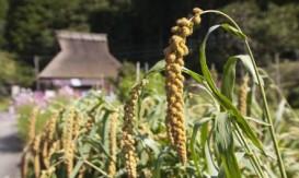millet growing 2