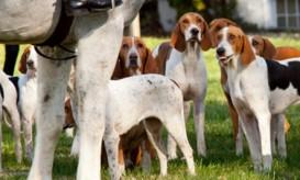 amerfoxhound