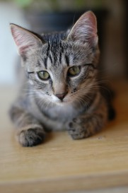 Tips for Pet Parenting After a Divorce  - cute small cat grey