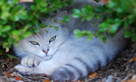 10 Rarest Cat Breeds Slideshow Care2 Healthy Living