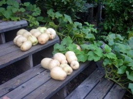Butternut squash, growing up the stairs, getting ready to leap into the pot!