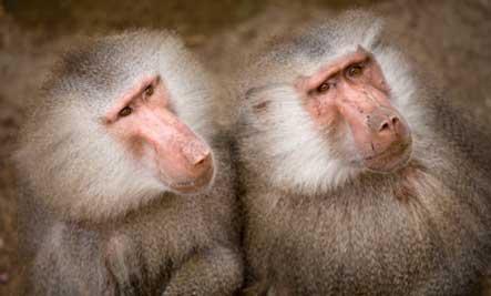 flirting-monkey-see-monkey-do