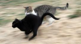 bully cat 2