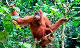 orangutanborneo