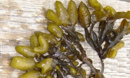 Sea Vegetables (seaweeds) Health Benefits - Real Food For Life