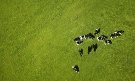 fieldofcows