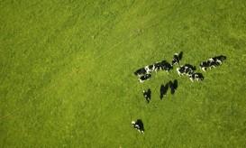 fieldofcows