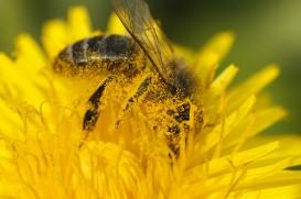 Honey bee in a dandelion flower by JR Guillamin via Flickr