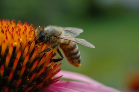 Honey bee drinking nectar from a coneflower