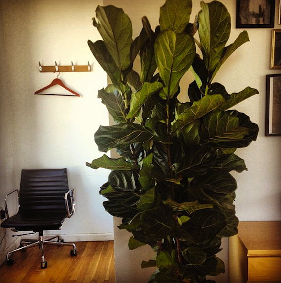 The Sill Fiddle Leaf