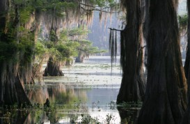 Many of the bald cypress trees at the Fred and Loucille Dahmer Caddo Lake Preserve are estimated to be more than 400 years old. Photo credit: © Paul Keith/paulkeithphoto.com