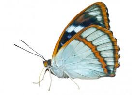 blue butterfly portrait