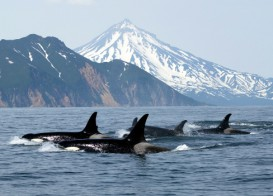 killer whale pod in the wild