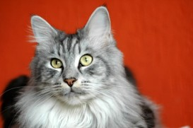maine coon on red background
