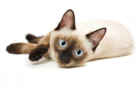 siamese kitten on side