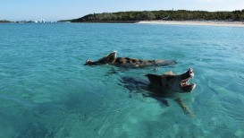 swimming-pigs-bahamas