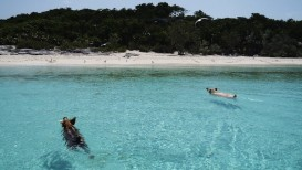 swimming-pigs-bahamas-pig-beach-07