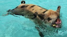 swimming-pigs-bahamas3