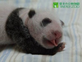 little Panda Cub