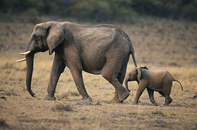 Elephants live in matriarchal societies with strong social bonds that endure for decades.