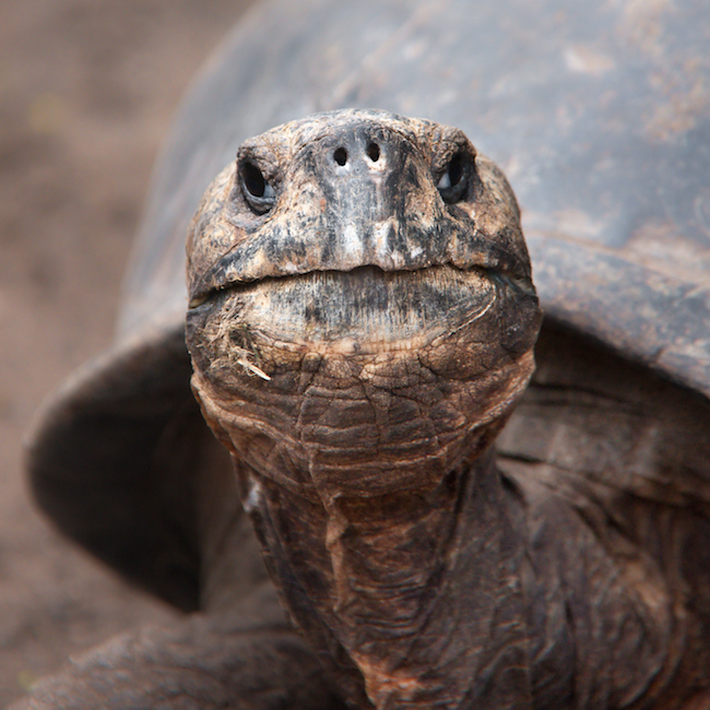 The Galapagos tortoise has a potential life span of over 175 years.  |  30+ Amazing Animal Traits