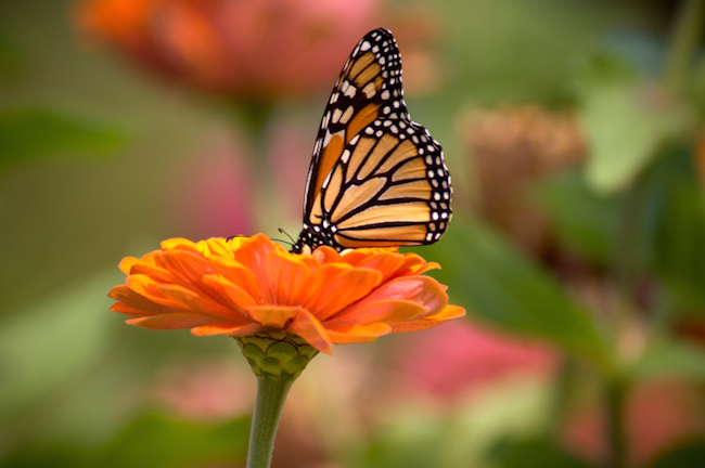 Some Butterflies, such as the Monarch, migrate over extremely long distances. In fact, the Monarch's journey spans over 3000 miles from Mexico northward.