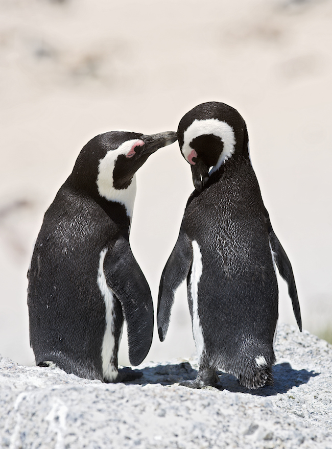 Both male and female penguins take turns caring for their eggs and chicks.
