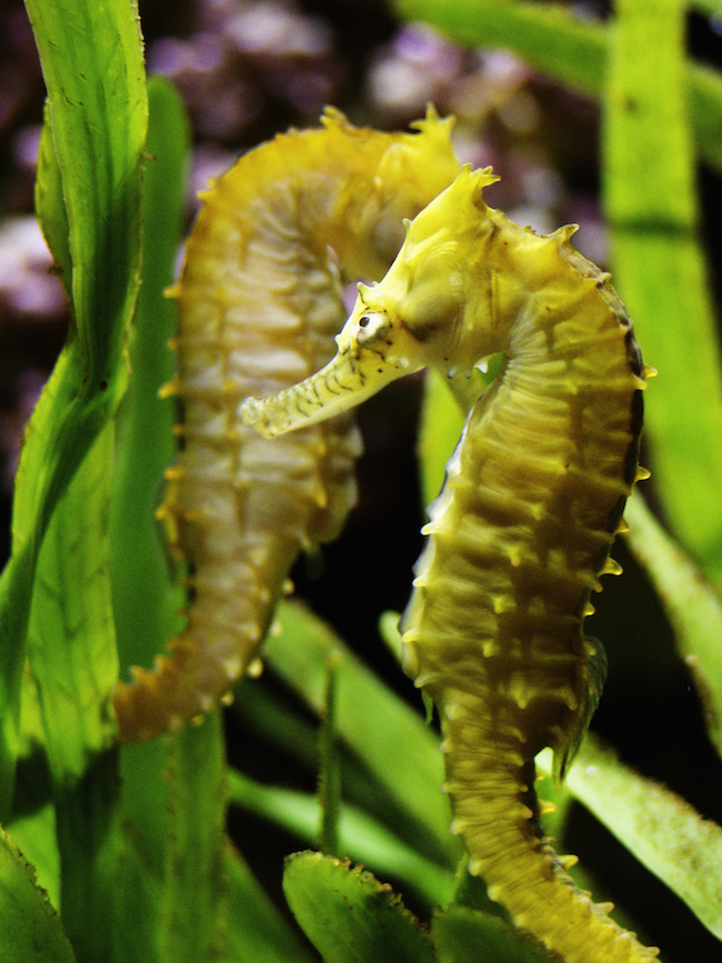 Male seahorses produce offspring. The female seahorse deposits eggs into a pouch on the male, who carries them through gestation and births them.  |  30+ Amazing Animal Traits
