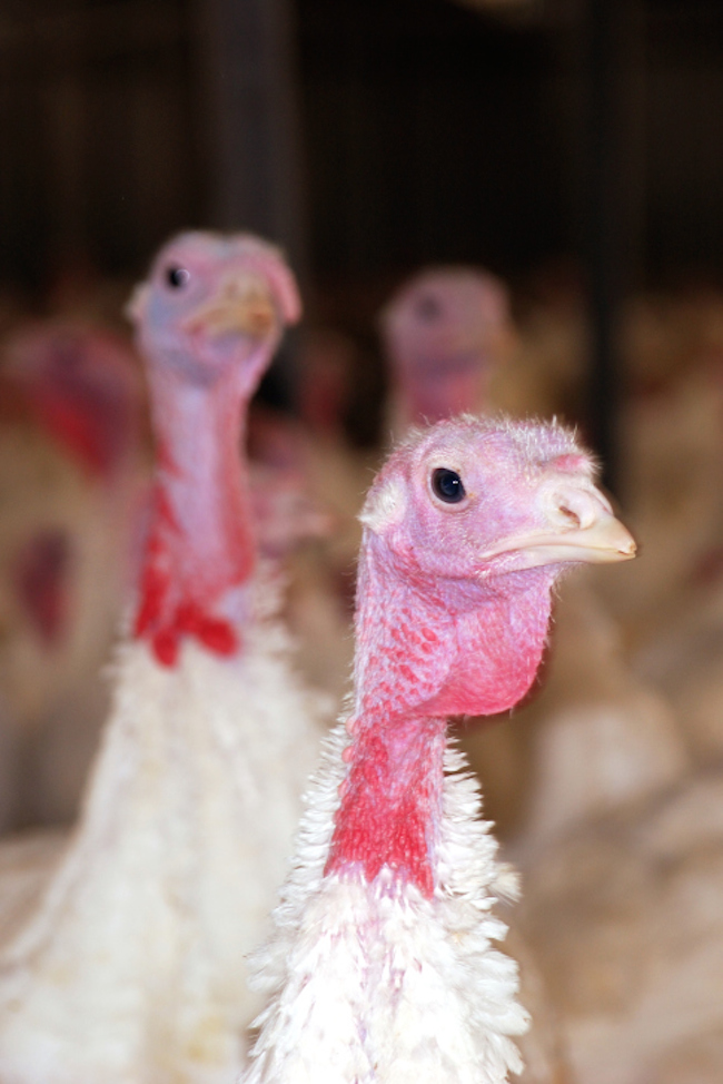 A turkey's head can be red, white, pink, blue, or gray, and can change color according to his mood, with a solid white head and neck being the most excited.