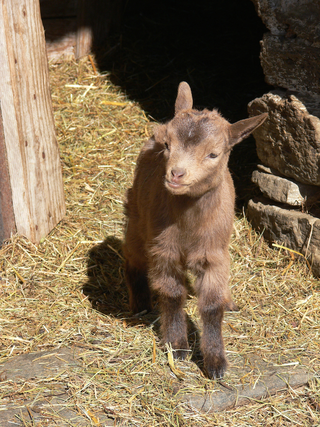 Goats are inquisitive, intelligent and readily revert to the wild (become feral) if given the opportunity, which is rare for domesticated animals.  |  30+ Amazing Animal Traits