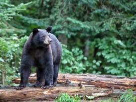alert black bear