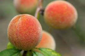 peaches on vine