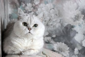 persian princess cat