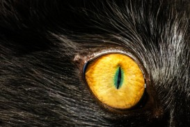 black cat yellow eye