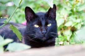 black cat in greenery