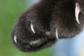 black paw claws