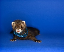 ferret in necklace