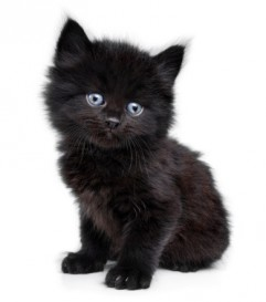 kitten black blue eyes